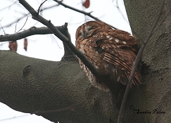 tawny owl roosting