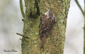 Treecreeper photo