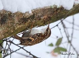 Treecreeper in the snow