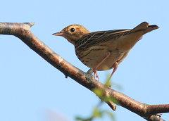 Tree Pipit bird