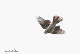 Tree pipit parachuting