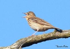 singing tree pipit