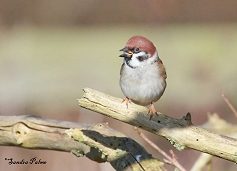 tree sparrow Dungeness