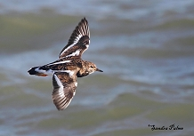 Turnstone in flight