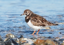Turnstone bird photo