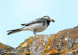 Pied Wagtail with nesting material