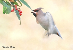 Bohemian waxwing in flight