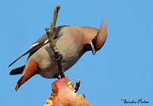 Bohemian Waxwing apple