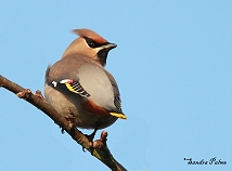 Bohemian Waxwing photo