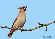 Waxwing in the sunshine