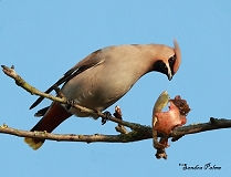 Waxwing and apple