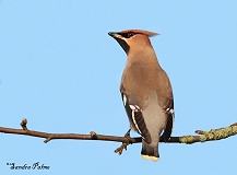First winter Waxwing