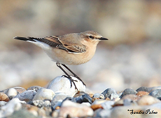 Wheatear photo