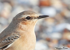 Northern Wheatear close-up