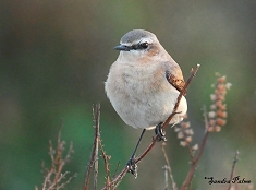 "female wheatear"" height="