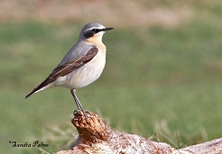 male wheatear Richmond Park