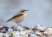 Male Wheatear bird