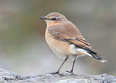 Wheatear bird photo