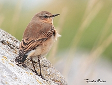 Wheatear picture