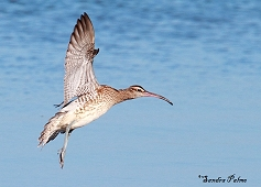 whimbrel in flight photo