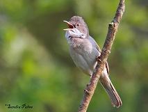 Singing Male Whitethroat photo