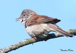 """male whitethroat"""" height="""