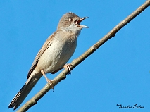 male whitethroat picture