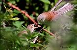 Whitethroat feeding chick=