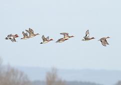 wigeons in flight