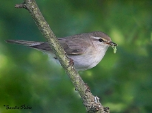 willow warbler with insect food