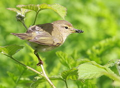 willow warbler with food for chicks