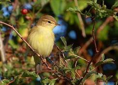 juvenile willow warbler Sussex