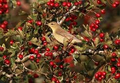 willow warbler berries
