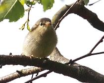 willow warbler fledgling