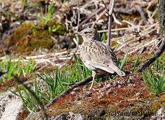 woodlark Sussex