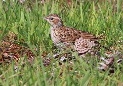 juvenile woodlark