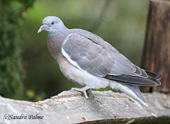 juvenile Woodpigeon
