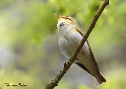 male wood warbler photo
