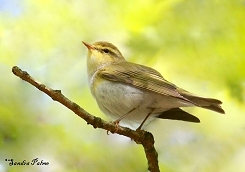 wood warbler photo