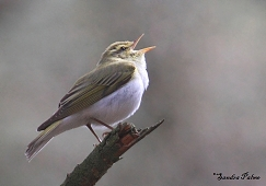 singing wood warbler