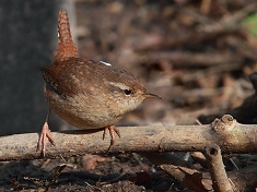 wren bird photo