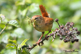 Wren with nesting material photo