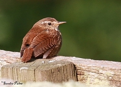 wren on fence