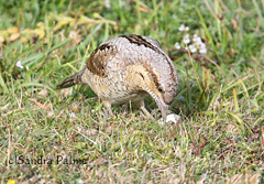 wryneck looking for ants