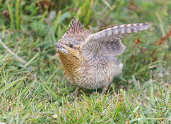 wryneck wings up