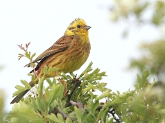 Male Yellowhammer picture