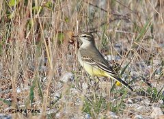 yellow wagtail Sussex