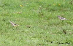 Female Yellow Wagtails