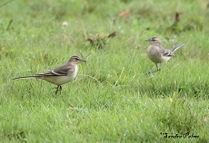 Juvenile Yellow Wagtails