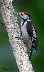 Juvenile Great Spotted Woodpecker photo